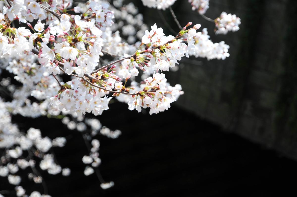 2_sakura
